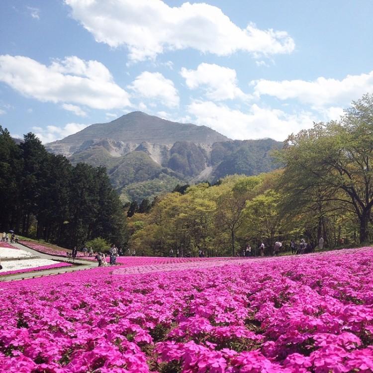 秩父 羊山公園 芝桜